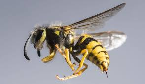 Yellow Jacket - how to get rid of wasp