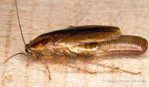 Adult female German Cockroach