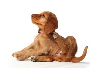 Remove fleas from dogs