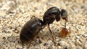 Wingless queen ant