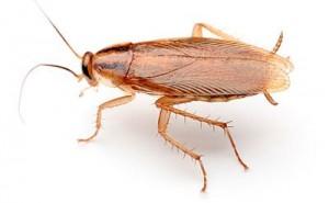 German cockroach courtesy of Encinopestcontrol