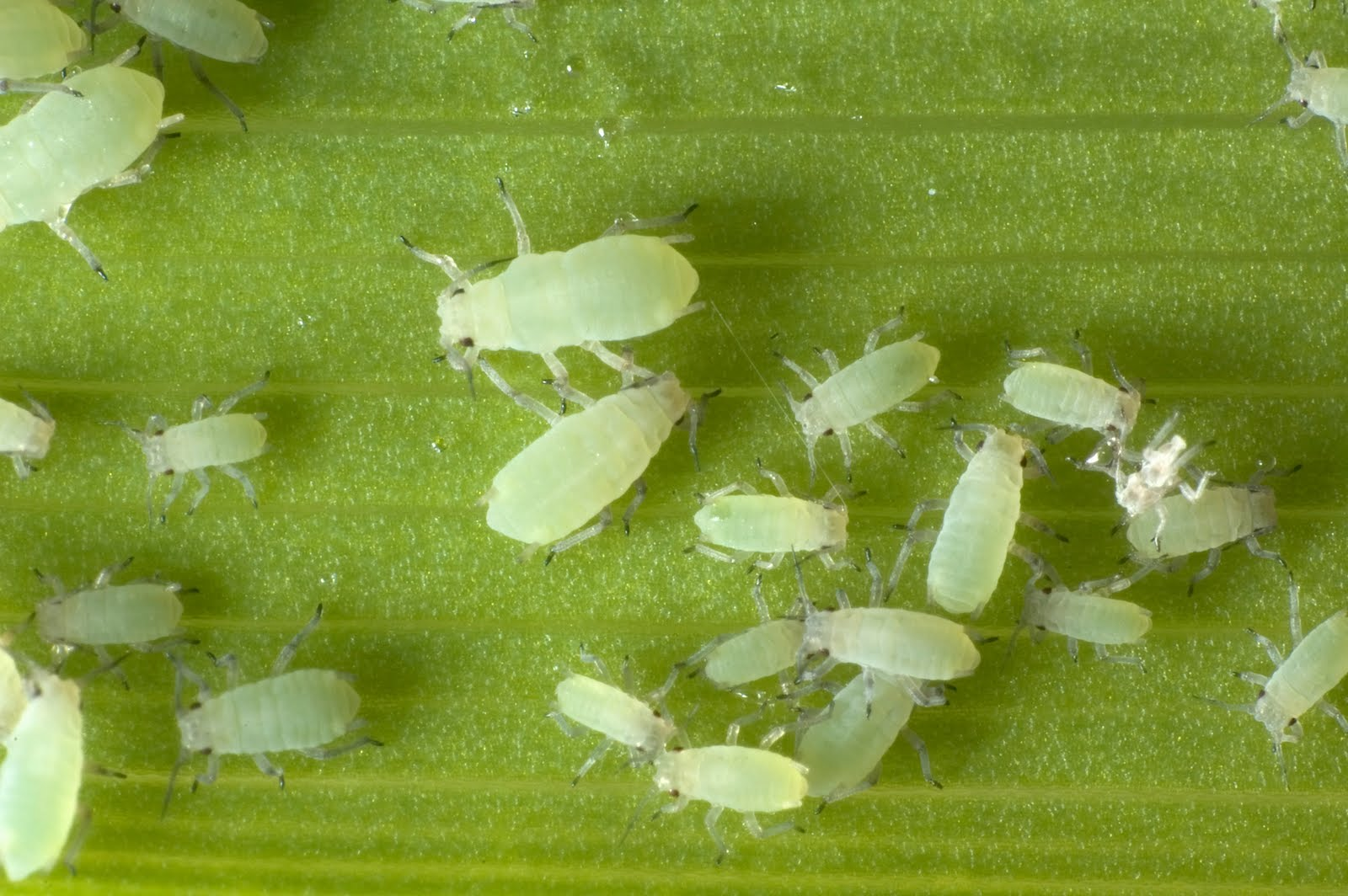 Aphids in Homes and Gardens