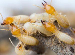 Subterranean Termites.