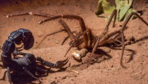 Camel-Spider-Vs-Scorpion