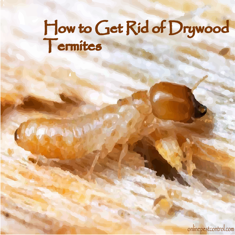 How To Get Rid Of Drywood Termites Online Pest Control