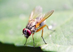 Fruit flies can be a real nuisance.