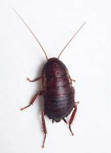 Florida Woods Cockroach. Source: bugguide.net