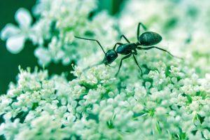 Adult ant