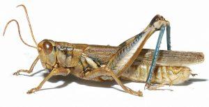 Grasshopper adult