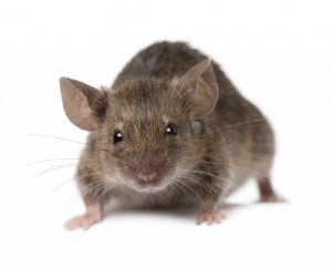 Rats are a common invasive pest.