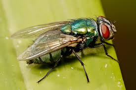Adult blow fly