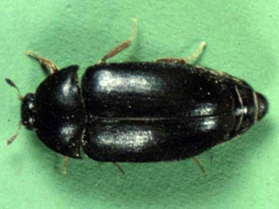 7 Ways To Control Carpet Beetles Online Pest Control