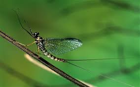 Adult mayfly.