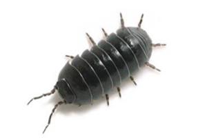 Adult Pillbug