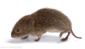 How to Get Rid of Voles Online Pest Control