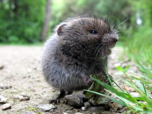 A meadow vole