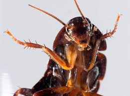 Cockroach can be a real pest.