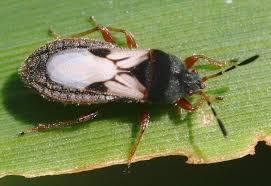 Adult chinch bug