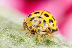 21 spot ladybug