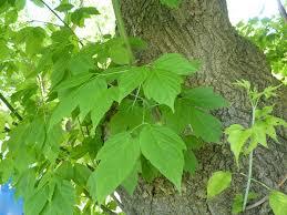 A boxelder tree