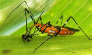 Adult milkweed assassin bug feeding on a cornsilk fly