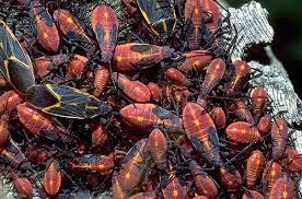 Aggregation of Boxelder bugs