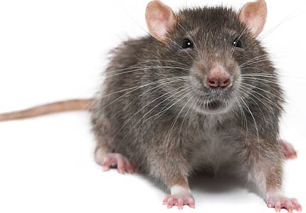 Mouse Meningitis