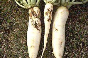 Root maggot damage to daikon radish