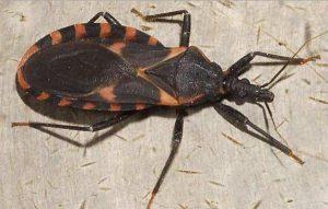 the kissing bug
