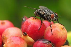 flies and disease