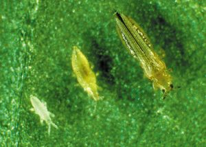Thrips- Houseplant pests