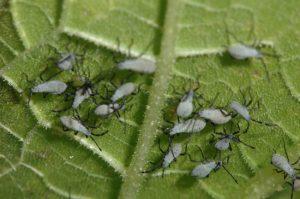 white-bodied-squash-bug-nymphs-on-leaf