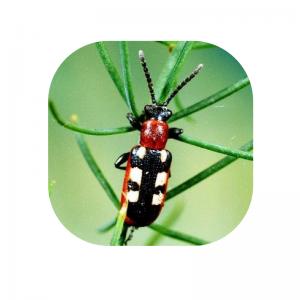 Asaparagus Beetle