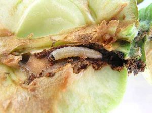 codling-moth-larva in an apple