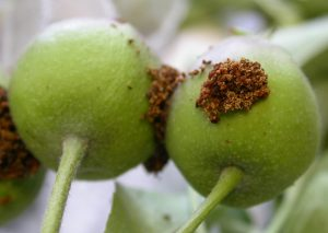 Codling Moth entry on apple