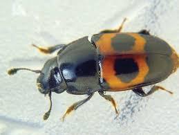sap-beetles