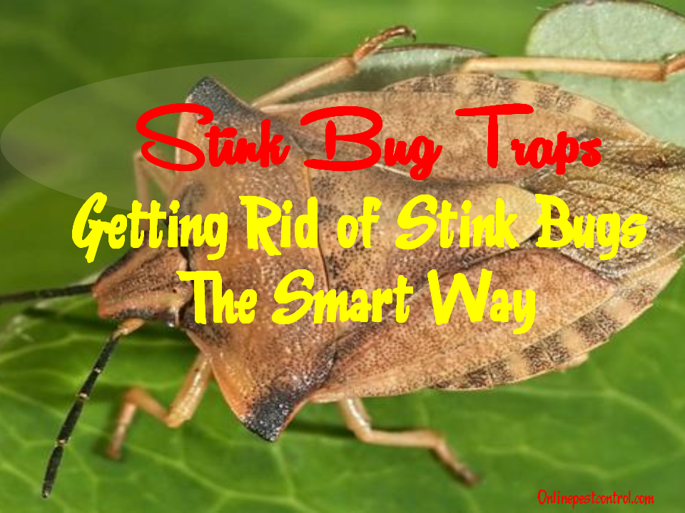 stink bug traps getting rid of stink bugs the smart way. Black Bedroom Furniture Sets. Home Design Ideas