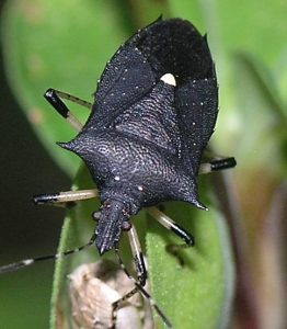 Stink bug traps: The black stink bug