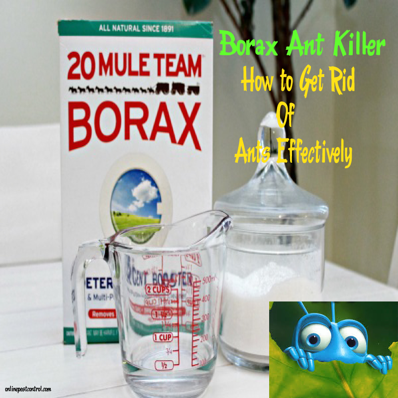 Borax Ant Killer: How to Get Rid of Ants Effectively - Online Pest Control