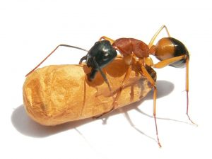 The banded sugar ant - Frequently Asked Questions About Sugar Ants