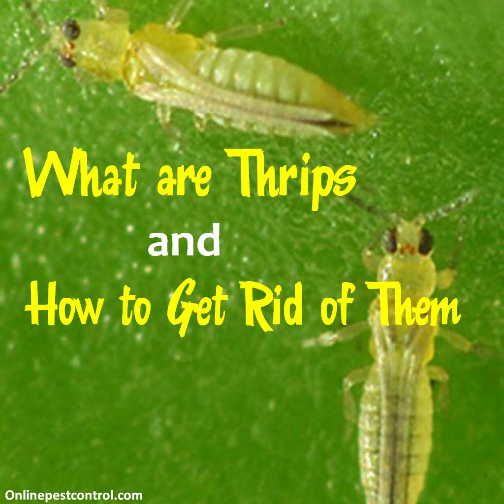 What are Thrips and How to Get Rid of Them - Online Pest Control