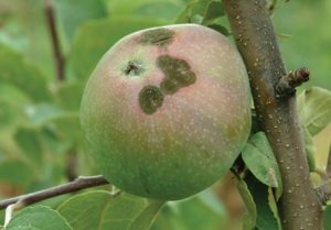 Apple Scab Disease
