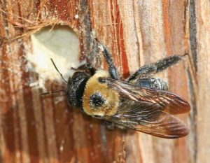 Eastern Carpenter Bee With Nest Hole