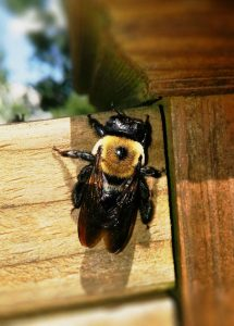 What Are Carpenter Bees Facts You Need To Know