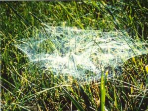 hobo spider web outside big