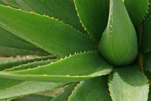 Aloe Vera - Get Rid of Bed Bug Bites