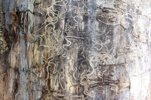 Termite tracks - damage to tree