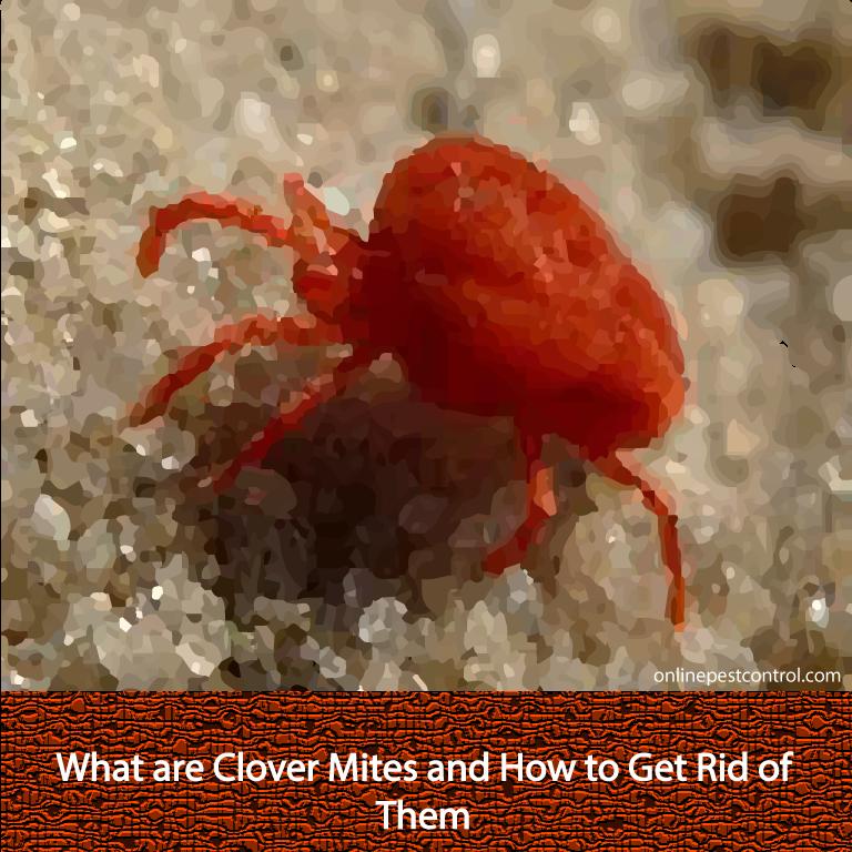 Beaches] Clover mites reddit