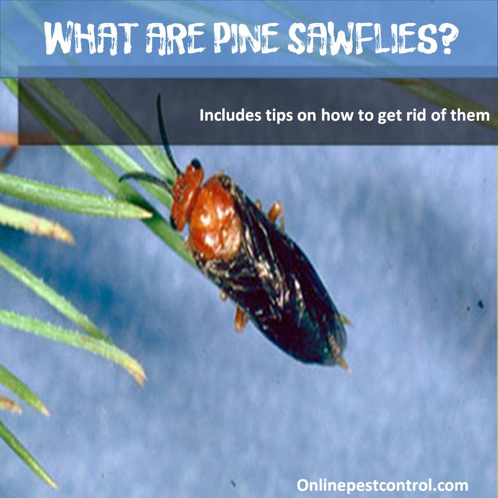What are Pine Sawflies and How to Get Rid of Them - Online Pest Control