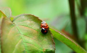 Asian Lady Beetle Copulating